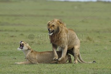 Lions mating in the savannah Masai Mara Kenya