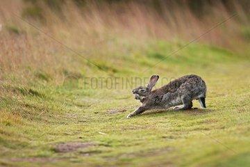Rabbit yawning Los Glaciares Tierra del Fuego Argentina