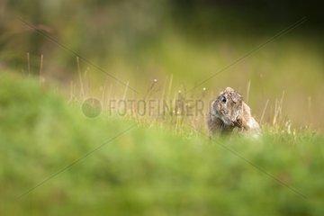 Rabbit scatching Los Glaciares Tierra del Fuego Argentina