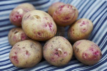 Harvest of potatoes 'Oeil de Perdrix'