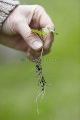 Weeding of hedge false bindweed in a garden