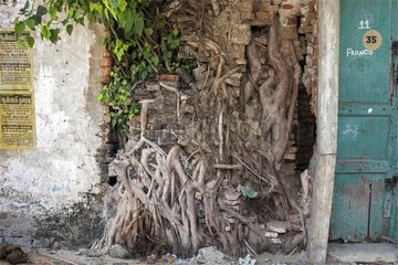 Roots growing through a fence wall Tamil Nadu India