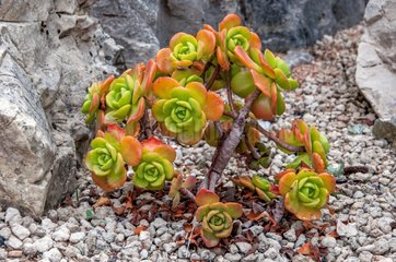 Pinwheel Aeonium haworthii plant on gravel