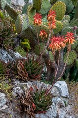 Aloe vera flowers and cactus on rocks