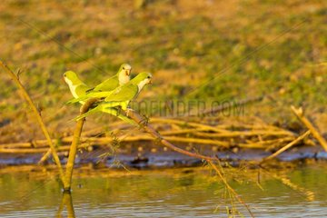 Monk Parakeets on a branch above water Pantanal Brazil