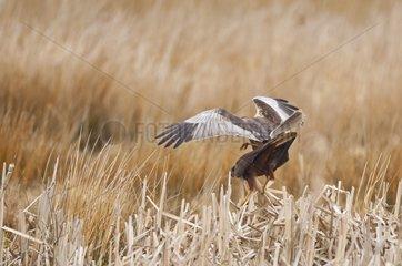 Marsh Harrier mating Denmark