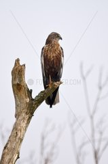 Marsh Harrier male on a branchDenmark