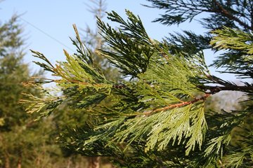 Incense cedar in a garden