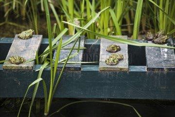 Frogs on a garden pound pontoon
