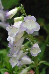 Penstemon 'Des quatre rues' in bloom in a garden