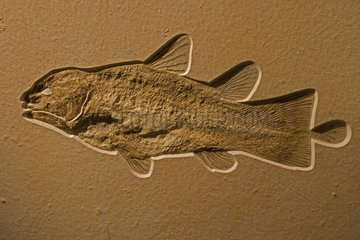 Coelacanth Fossil Germany