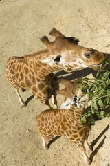 Aerial view of two Giraffes western eating