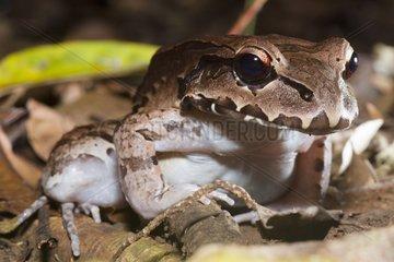 Smokey Jungle Frog in the Osa Peninsule in Costa Rica