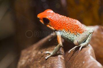 Granular Poison Frog in the Osa Peninsule in Costa Rica