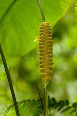 Zingiber in the Osa Peninsule in Costa Rica