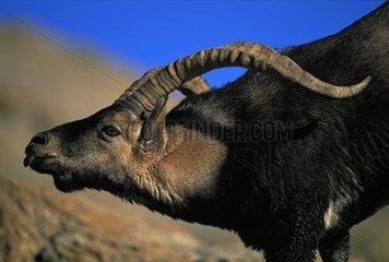 Spanish Ibex male courting female in rut Spain