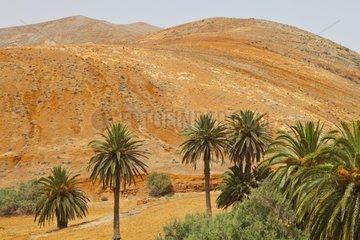 Palm trees and hills Betancuria Fuerteventura Canary