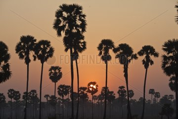 Sugar palm trees at dawn on the Mekong River Cambodia