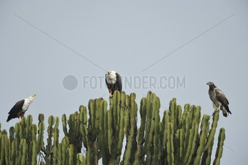 African Fish-eagles perched on a Euphorbia in Uganda