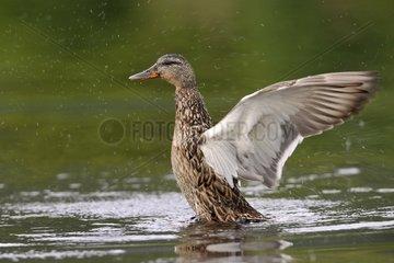 Female mallard duck on water snorting Scotland UK