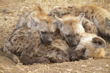 Spotted hyenas napping Kruger South Africa