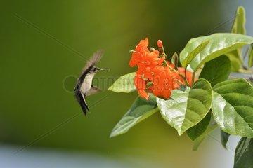 Crested hummingbird foraging flight Saint Martin Antilles