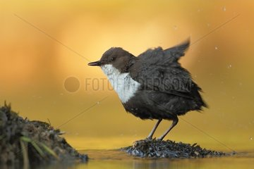 White-troated Dipper snorting the morning at sunrise