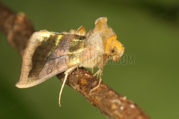 Burnished-Brass on a branch at spring Belgium