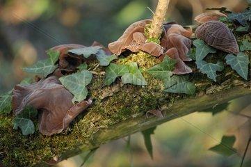 Judas' ears fungus on a branch Aquitaine France