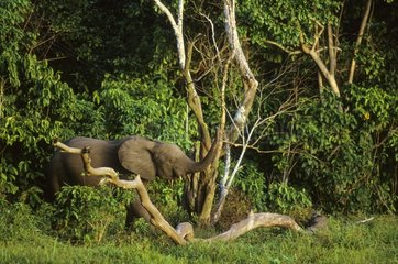African forest elephant - Central African Republic