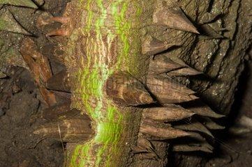 Spiny trunk Kapokier Trinité Martinique