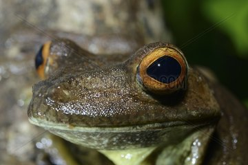 Portrait of Rusty tree frog - French Guiana