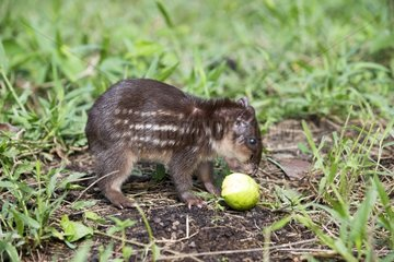 Young Paca eating a fruit - Amazonas Brazil