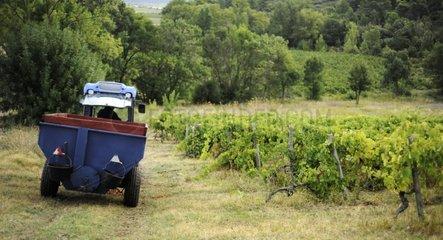 Grape harvest au domaine de la Villatade in Minervois France