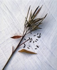 Harvest of amsonia seeds