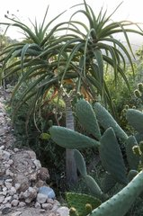 Idian fig and aloes in a garden Morocco