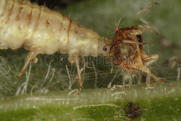 Neuroptera larvae eating another larva Belgium