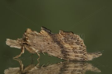Pale prominent on a window in summer Belgium