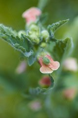 Green shield bug on a figwort flower