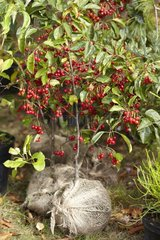 Crabapple tree 'Red Sentinel' in fruit in a garden