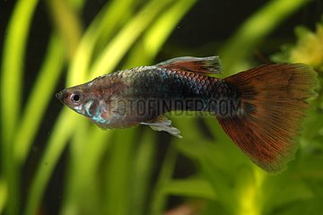 Bacterial or viral infections on a guppy male