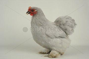 Grey Bantam de Pekin Hen on white background