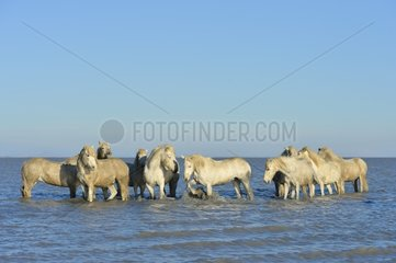 Camargue horses in a swamp in winter - France