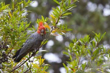 Gang-Gang cockatoo on branch Victoria Australia
