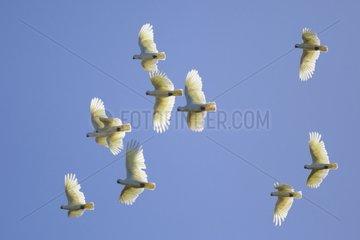 Corella cockatoos in flight South Australia