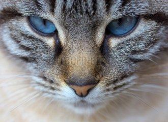 Portrait of blue-eyed European tabby cat France