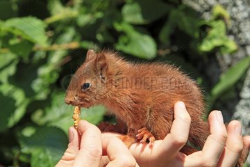 Young Eurasian Red Squirrel in the hands of someone France