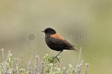 Patagonian negrito on a bush - Patagonia
