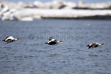 Common eiders in flight - Barter Island Alaska USA