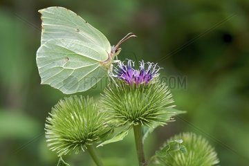Brimstone on flower Burdock France